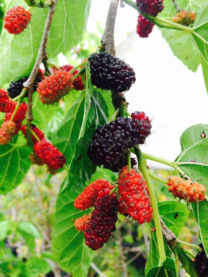 Persisk mullbärsträd royaltyfri bild
