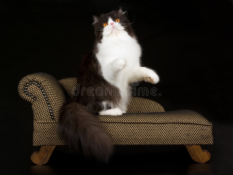 persisk white för svart brun chaise arkivfoton