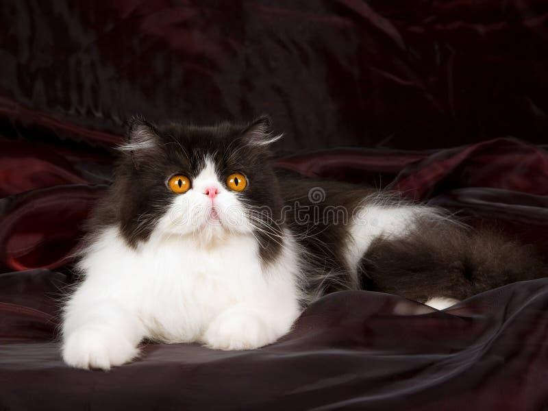 persisk white för svart burgund royaltyfri fotografi