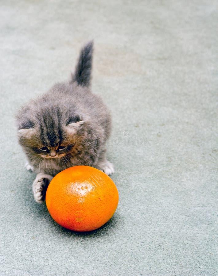 persiskt leka för grapefruktkattunge royaltyfria foton