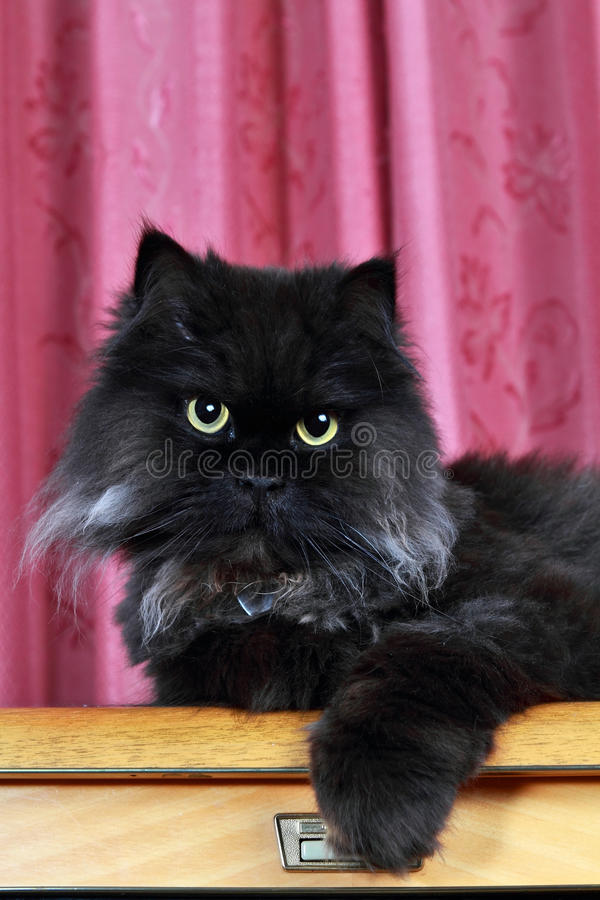persiskt posera för svart katt royaltyfri bild