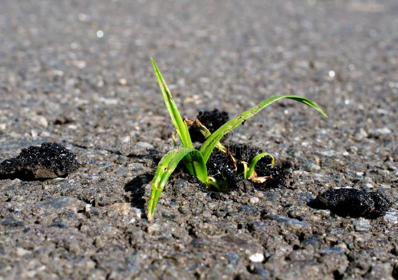 Persist and Success in business concept. Green plant growing from asphalt stock photo