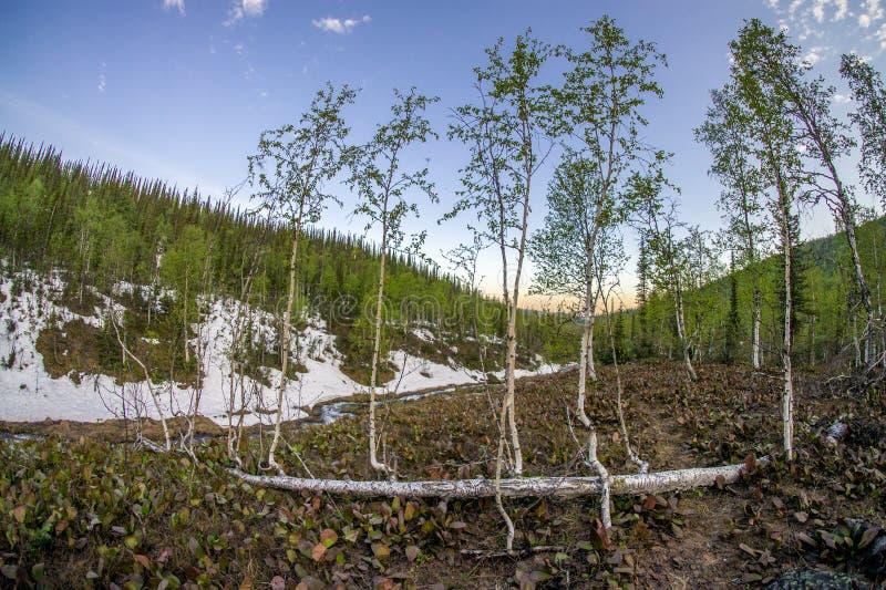 Persistencia de la vida - árboles del bebé que crecen de abedul caido imágenes de archivo libres de regalías