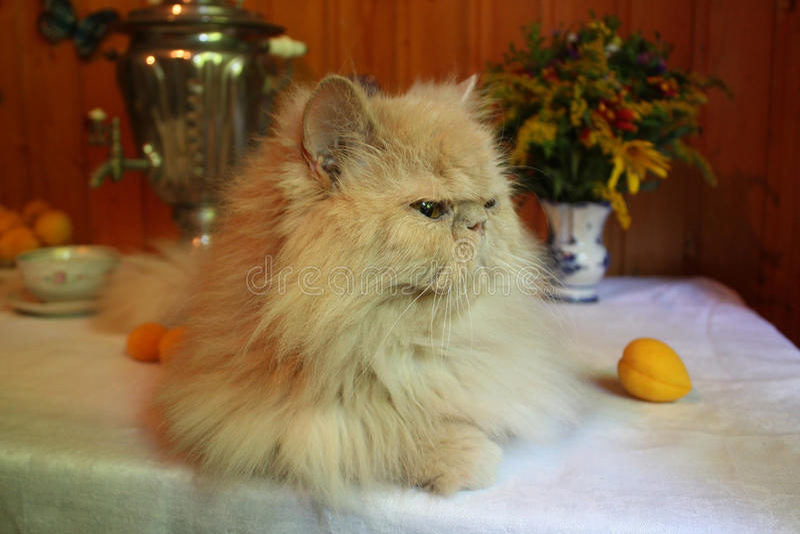 Download Perski dorosły kot obraz stock. Obraz złożonej z puszysty - 57665369