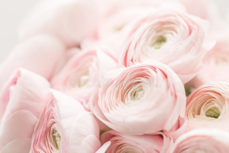Perski jaskier Wiązki ranunculus jasnoróżowych kwiatów lekki tło tapeta, Horyzontalna fotografia zdjęcia royalty free