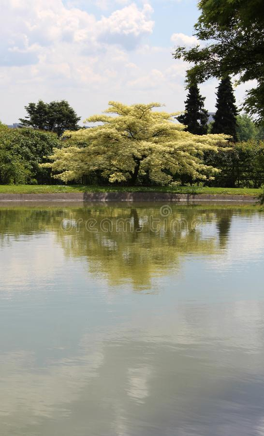 Perski Jedwabniczy drzewo w Japońskim ogródzie Kwitnący drzewo Albizia Julibrissin obrazy stock
