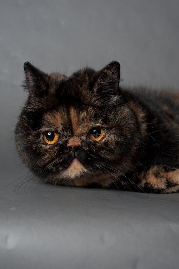 Perski kot żółwia kolor kłama na szarym tle obraz royalty free