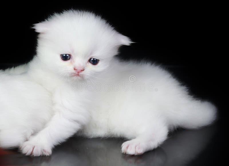 perski kota biel zdjęcia royalty free