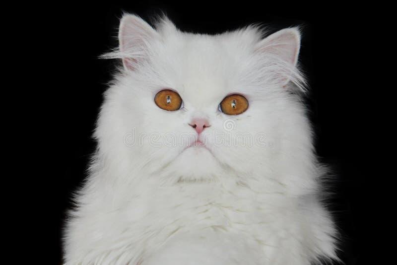 perski white obraz stock