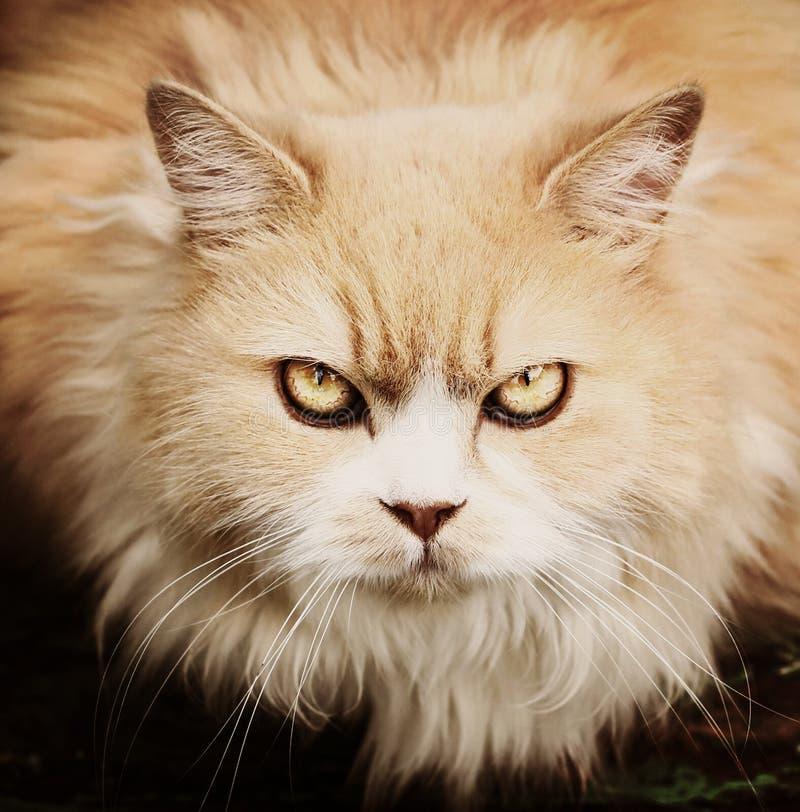 Perskiego kota ostrzeżenia spojrzenia zakończenie w górę portreta fotografia stock