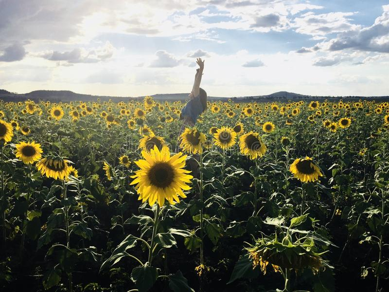 Person in Blue Shirt on Sunflower Field Photo Shot stock photography