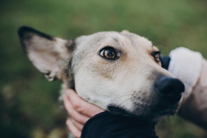 Person caressing cute gray dog with sad eyes and emotions in park. Dog shelter. Adoption concept. Woman petting scared dog in city stock images