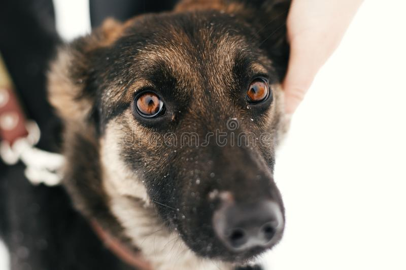 Person caressing cute scared puppy with sad eyes in snowy winter park. People hugging mixed breed german shepherd dog on a walk at. Shelter. Adoption concept royalty free stock photos