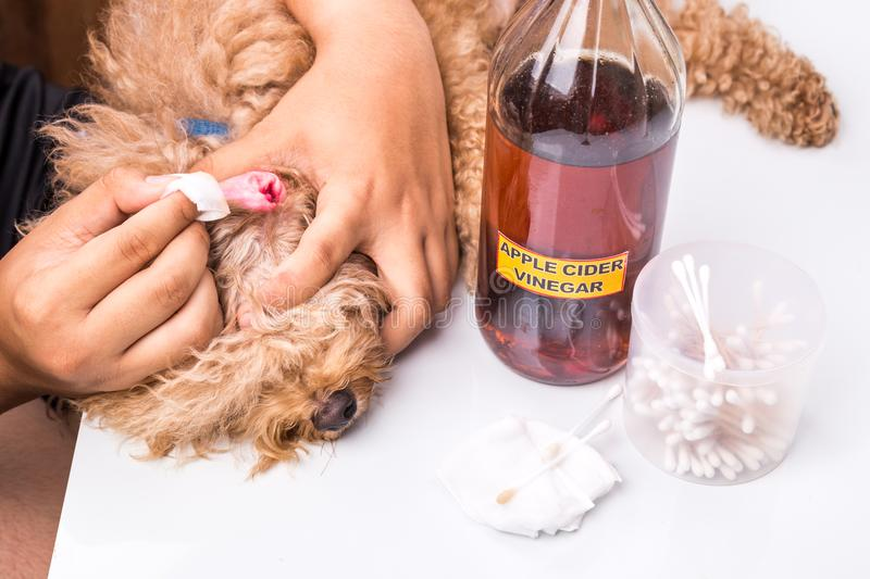 Person cleaning inflammed ear of dog with apple cider vinegar stock photos