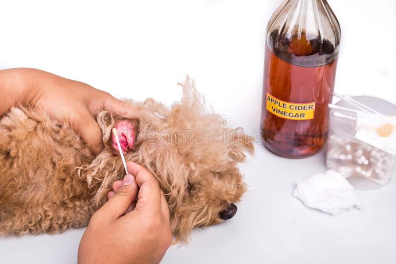 Person cleaning inflammed ear of dog with apple cider vinegar stock photo