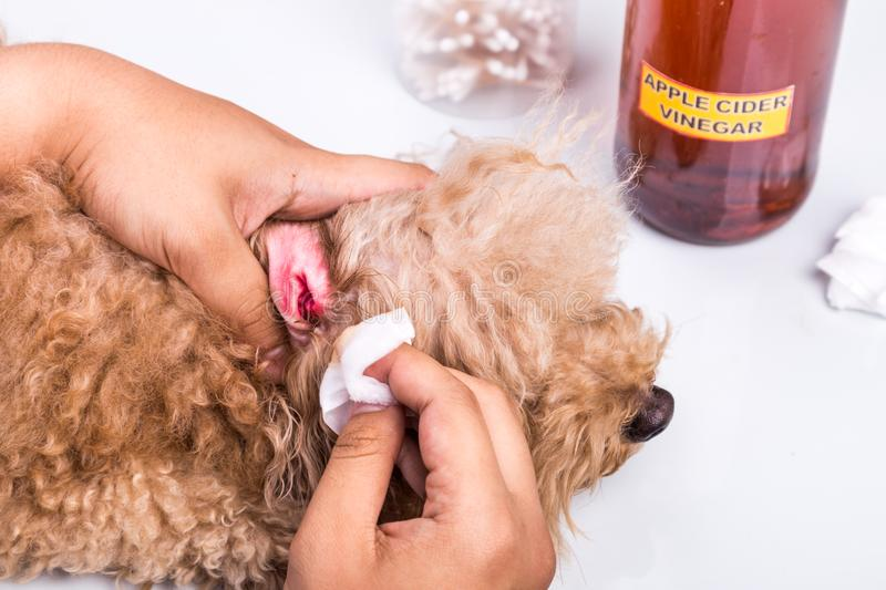 Person cleaning inflammed ear of dog with apple cider vinegar stock photography