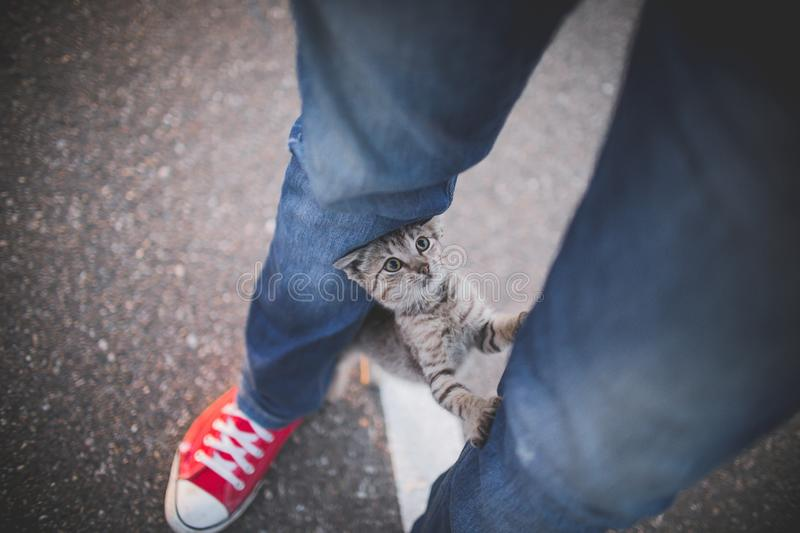 Person in denim jeans and red low-top sneakers and a cute adorable kitten in between the legs. A person in denim jeans and red low-top sneakers and a cute stock photography