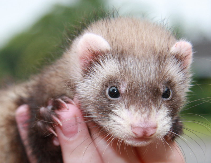 Person with ferret royalty free stock photos