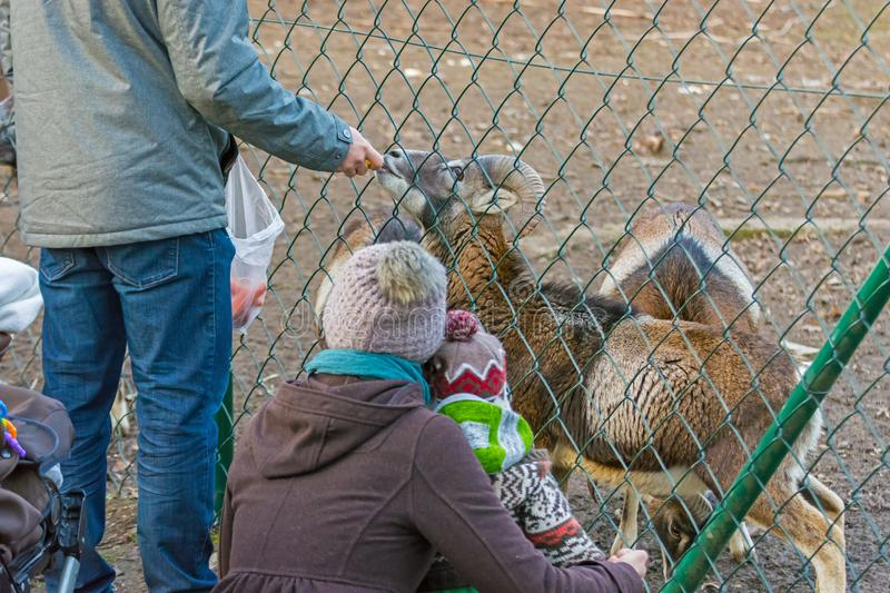 The person gives food to the animal royalty free stock photo