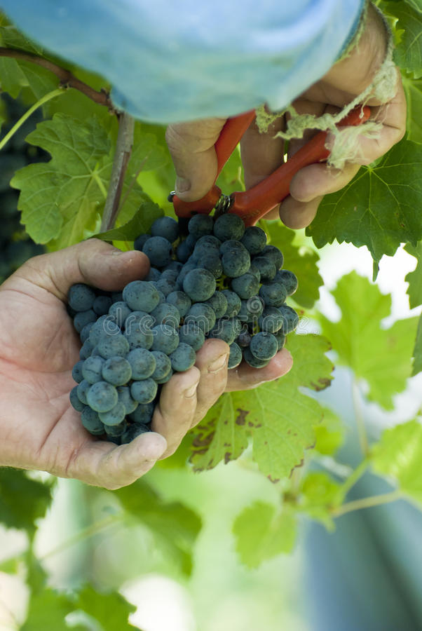 Download Person Harvesting Stock Photo - Image: 21436540
