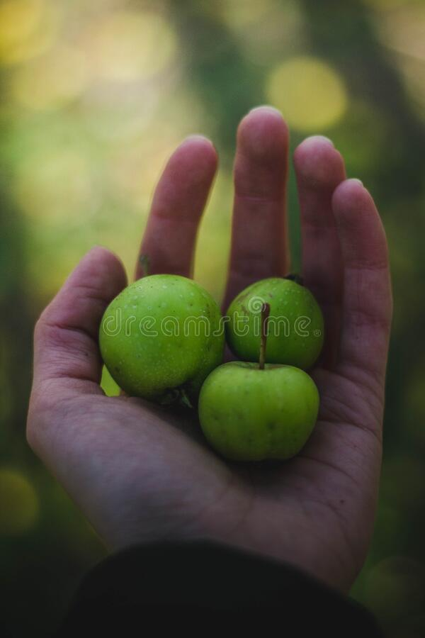 Person holding apples royalty free stock image