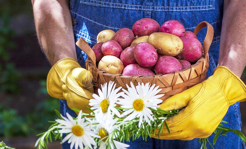 Person Holding Basket of Freshly Harvested Potatoes royalty free stock photos