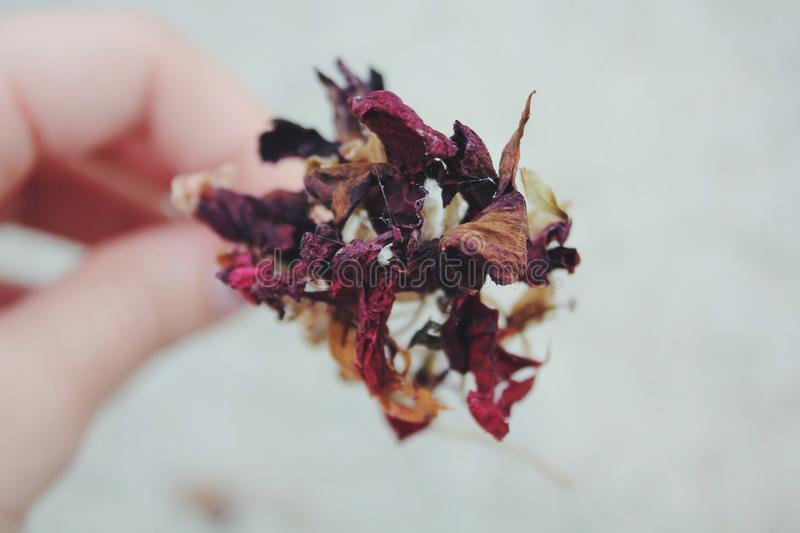 Person Holding Dried Red, Brown, and White Flower royalty free stock photos
