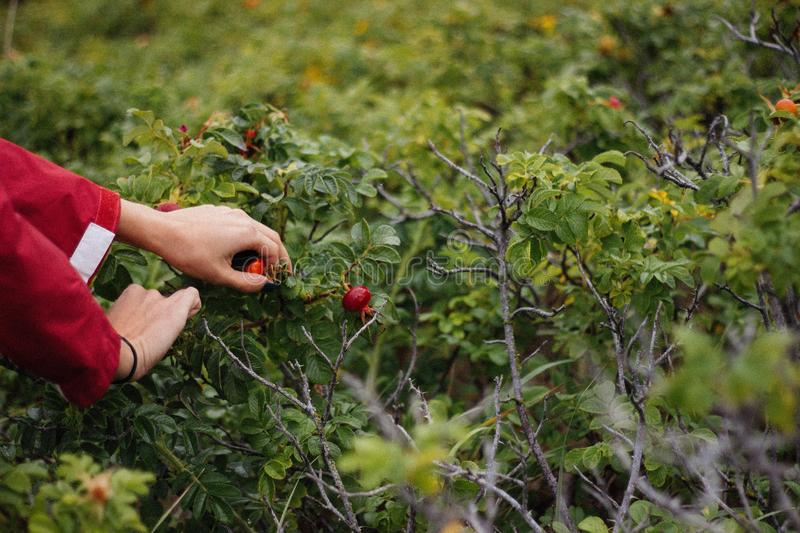 Person Holding Fruit on Plant stock photo