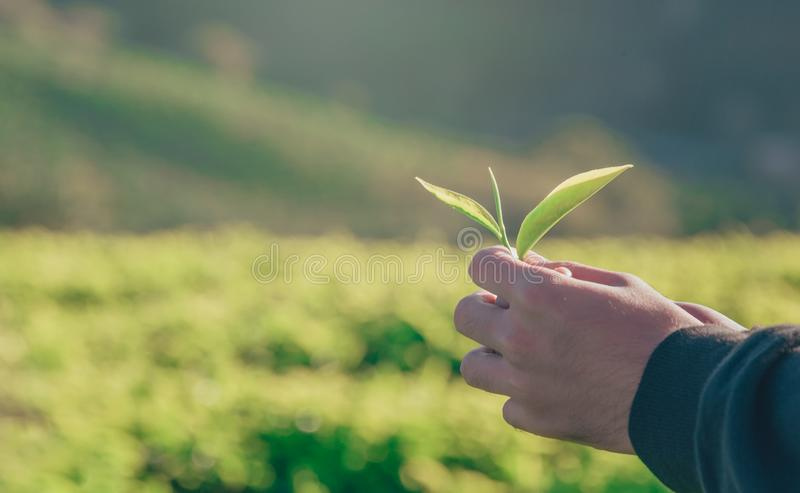Person Holding Green Leaf royalty free stock photos