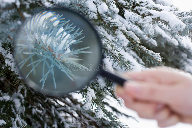 Person holding a magnifying glass next to a fir tree stock photos