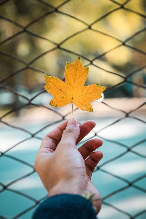 Person Holding A Maple Leaf Free Public Domain Cc0 Image