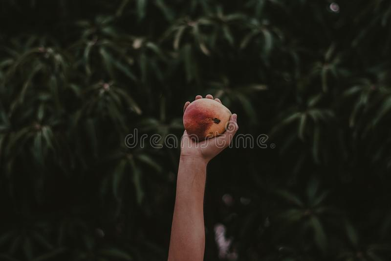 Person Holding Red and Yellow Fruit royalty free stock photos