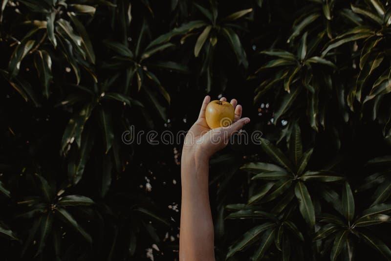 Person Holding Round Yellow Fruit royalty free stock photos