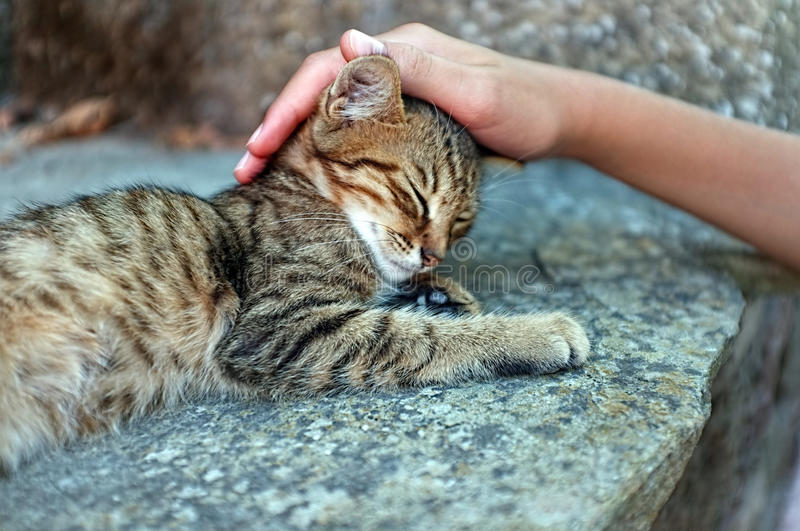 Person is petting a cat. Young person is petting a tabby kitten stock images