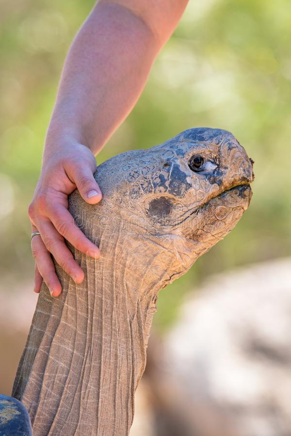 Person Petting Large Tortoise stock fotografie