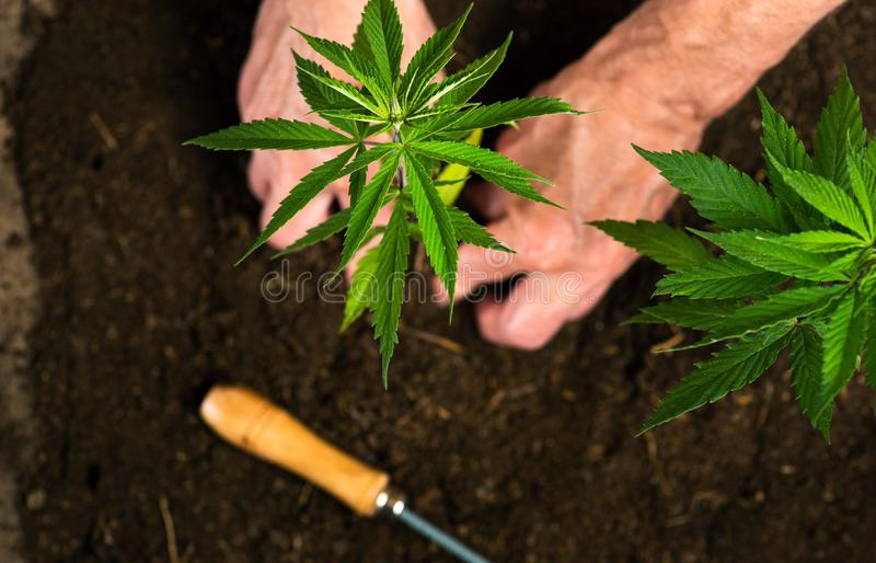 Person planting industrial hemp in the soil. With gardening tools, cannabis, man, hand, manual, work, farm, farmer, cultivated, male, fork, cultivation stock photo