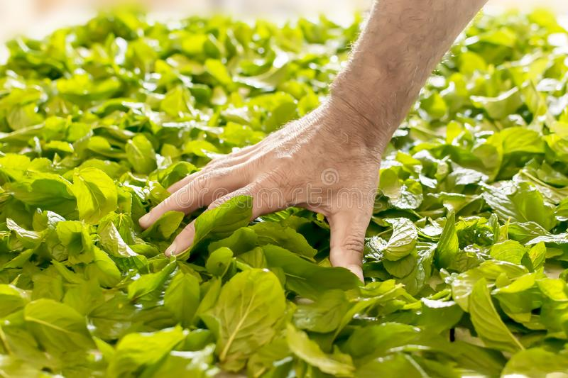A person preparing fresh mint leaves to dry. Preparing peppermint for storage. A hand of a man spreads the leaves on the table.  royalty free stock image