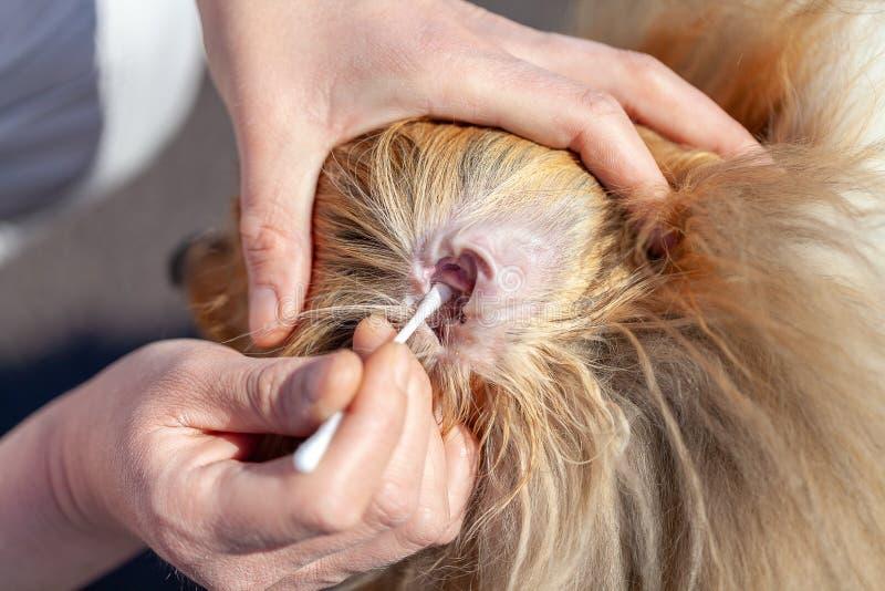 Person säuberte ein Ohr von einem die Shetlandinseln-Schäferhund stockbilder