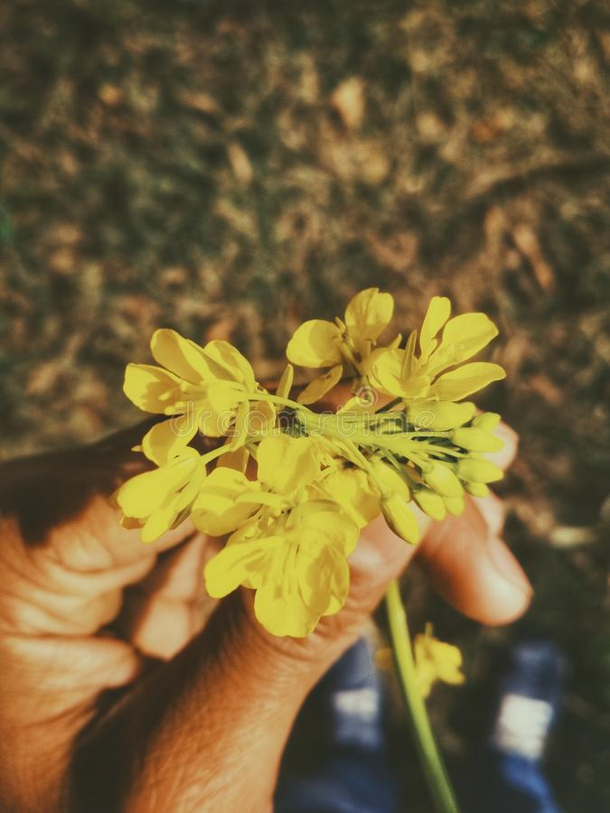 Person's Left Hand Holding Cluster Petaled Yellow Flower royalty free stock photos