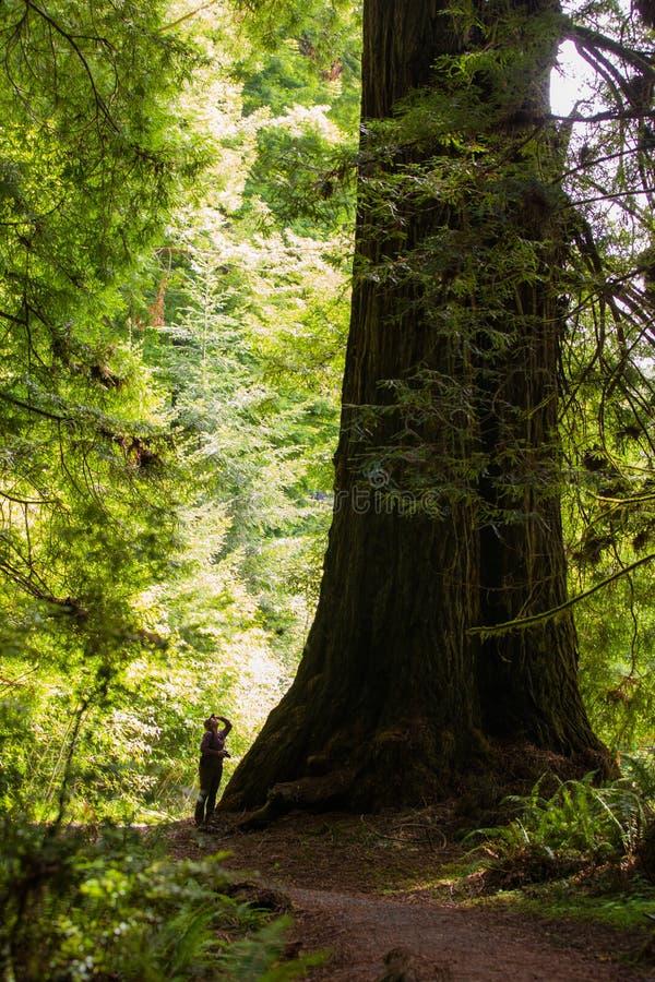 Person Standing Next till sequoiaträdet arkivfoto