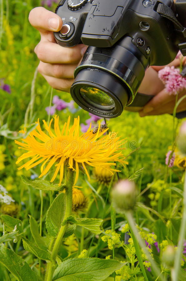 Person taking pictures. Macro photographer photographing bee sucking nectar from daisy flower in spring meadow stock photography