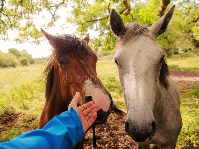 Person touching horse by a nose, Connection between human and animal. Brown and white horses in a field stock photography