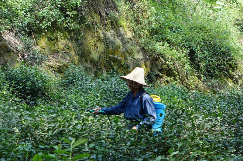 Person wearing a hat walking through tea fields and spraying fertilizers in Hangzhou, CHina royalty free stock photography