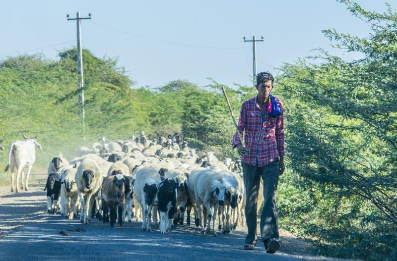 Persona che cammina con il gregge delle pecore fotografia stock libera da diritti