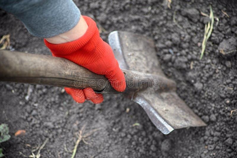 Persona nei guanti rossi del giardino che scava con una pala fotografie stock libere da diritti