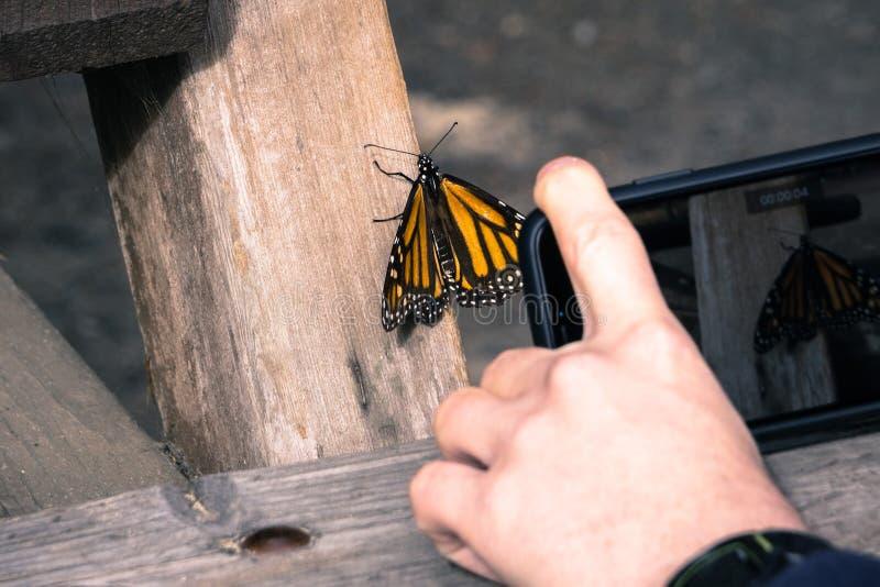 Persona non identificata che prende una foto di una farfalla di monarca che riposa su una posta di legno; Santuario della farfall immagine stock
