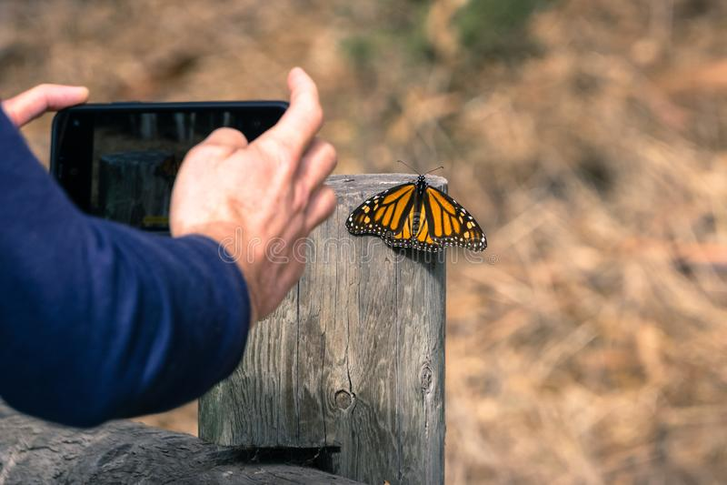 Persona non identificata che prende una foto di una farfalla di monarca che riposa su una posta di legno; Santuario della farfall fotografia stock