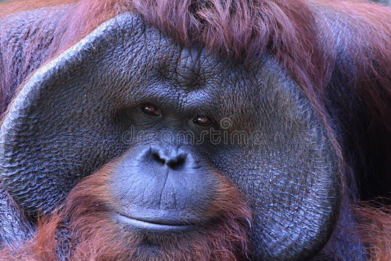 Persona o scimmia fotografia stock libera da diritti