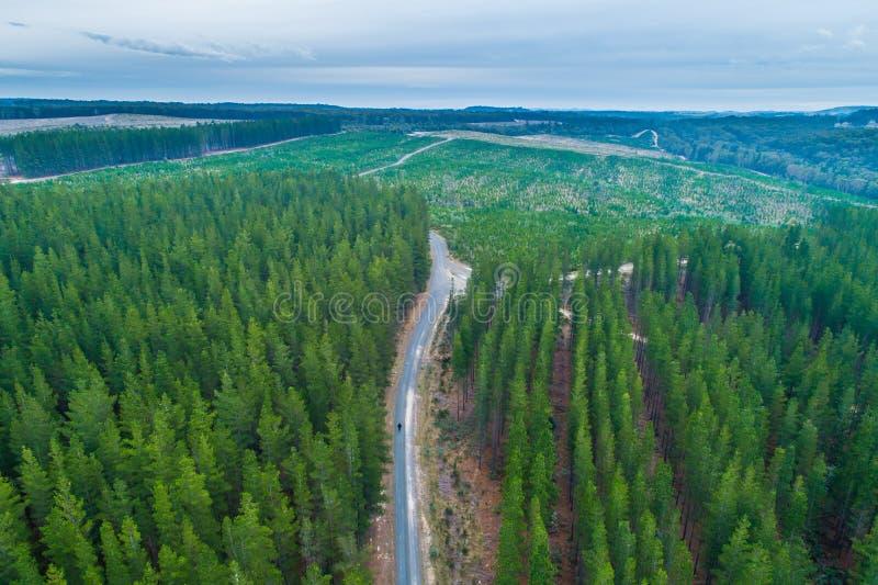 Persona sola che cammina sulla strada rurale fra la foresta dei pini fotografia stock