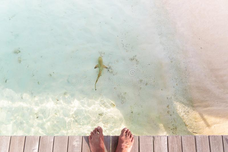 Personal point of view of male bare feet on a pier with reef shark in the water royalty free stock image